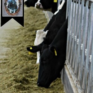 image of dairy cows at feeding time